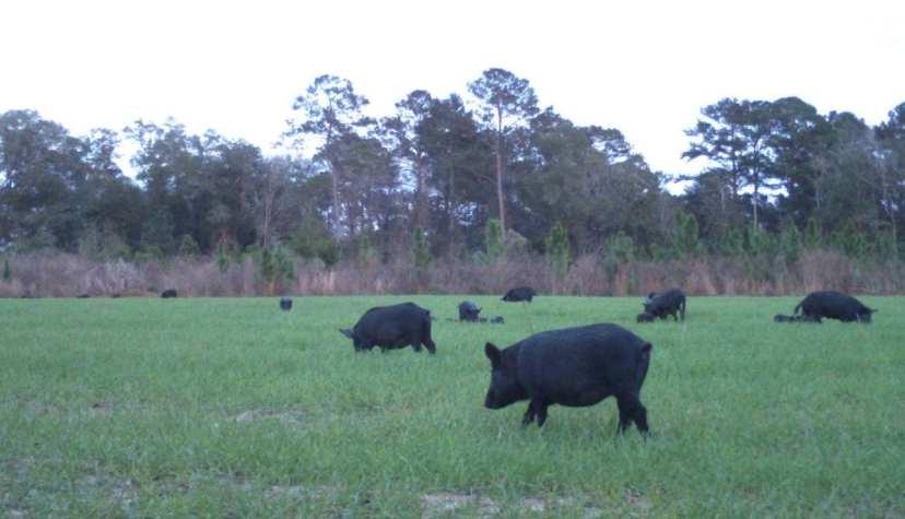 Florida feral hogs
