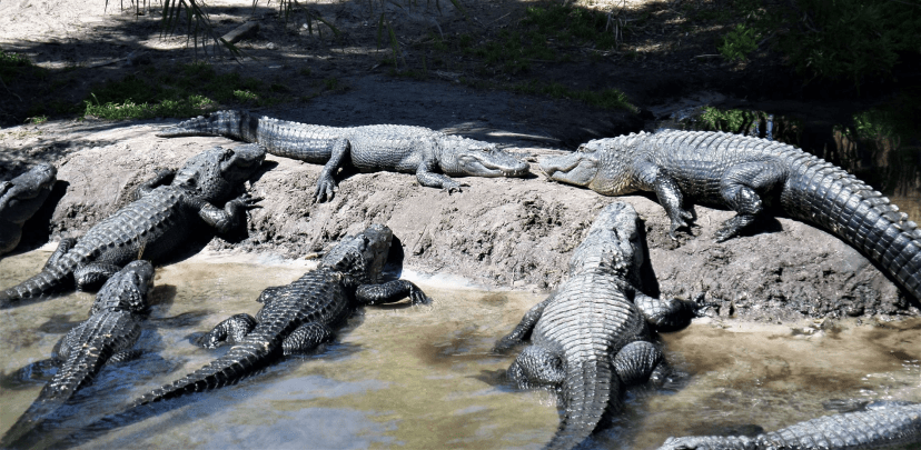 American Alligators in Florida_Sally White