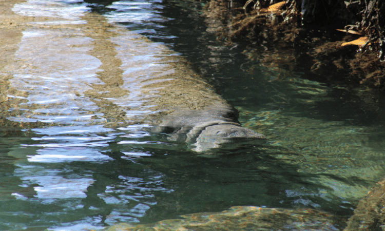 Manatee at Crystal River National Wildlife Refuge
