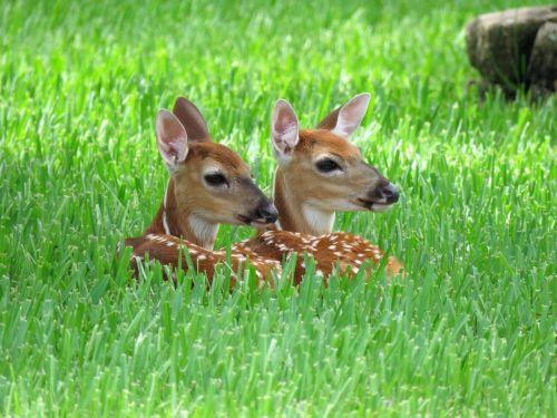 Newborn Twin Fawns