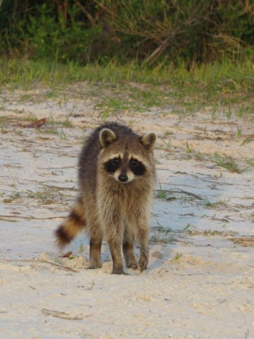 Raccoon on the Beach