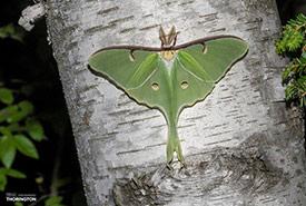 Luna moth (Photo by timthorington, CC BY-NC 4.0 via iNaturalist)