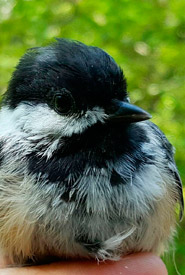 Black-capped chickadee (Photo by NCC)