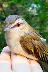 Red-eyed vireo (Photo by NCC)