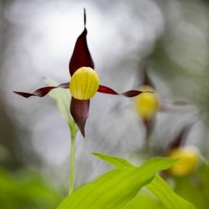 Orchidée Sabot de Vénus-France-Causse Méjean
