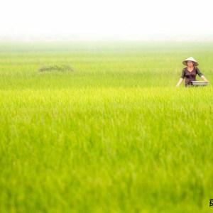 Nord Vietnam-Rizières