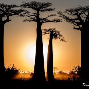 Madagascar-Allée des baobabs