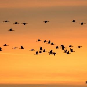 Grues cendrées au lever du jour-France-Marne-Lac du Der