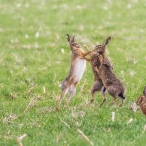 Bouquinage de lièvres-Pays Bas