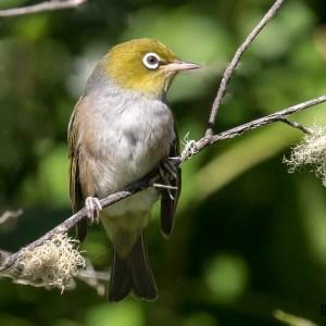 Silver eye (Zosterops lateralis)-Nouvelle Zélande