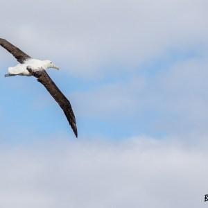 Albatros royal-Nouvelle Zélande