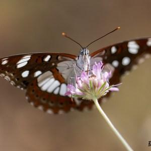 Papillon Sylain azuré-Croatie