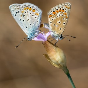 Papillon Azuré de la Bugrane(Argus bleu)-Croatie