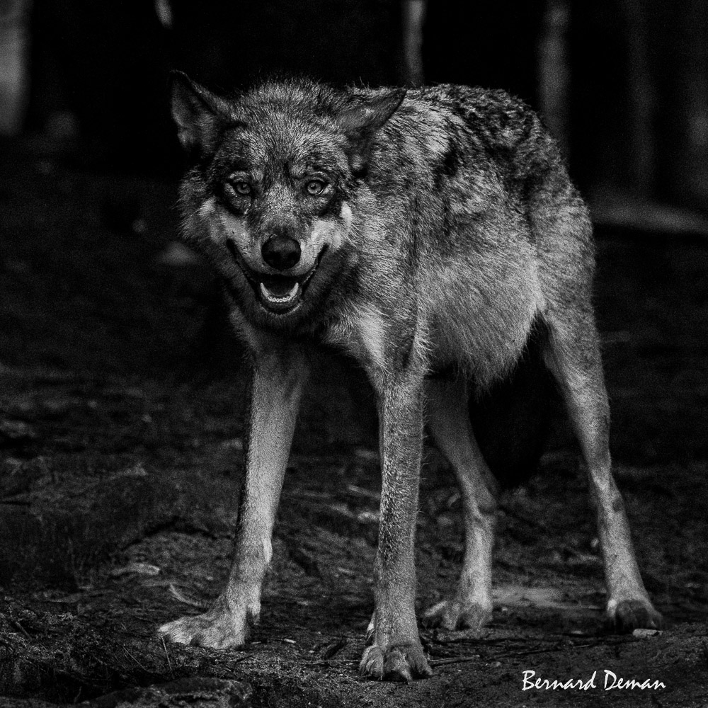 Loup d'Europe (animal non sauvage)-Pologne