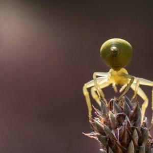 Araignée crabe (Misumenia vata)-France-Yvelines