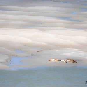 Phoques veaux marins se prélassant sur les bancs de sables- Pas de Calais-Baie d'Authie
