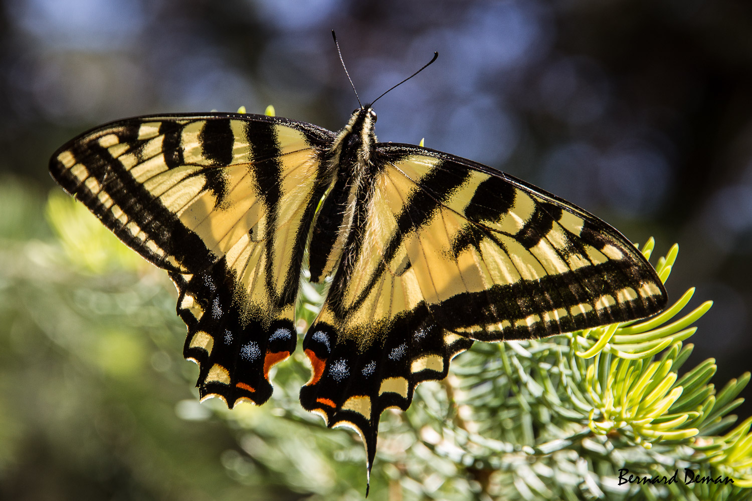 Papilio rutulus-USA-Grand canyon