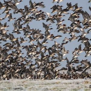 Envol de Canards siffleurs-Pays Bas