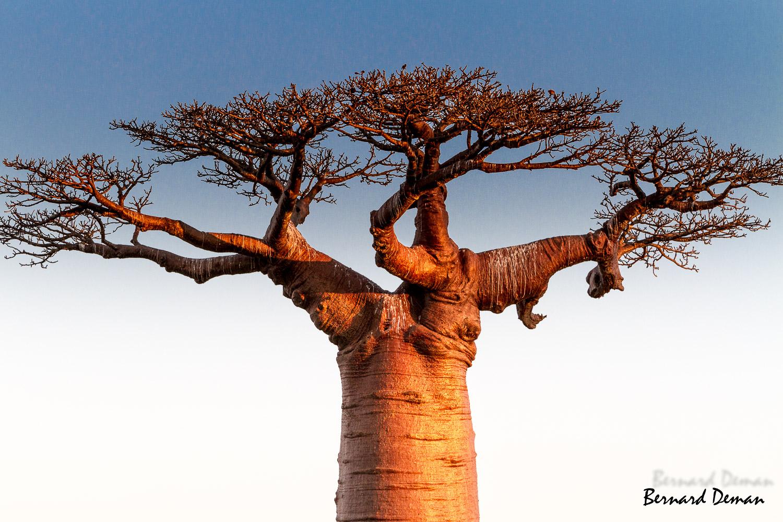 Baobab Adansonia grandidieri-Madagascar