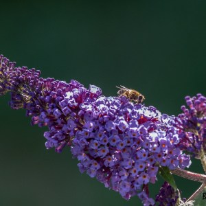 Buddleia-France-Nord