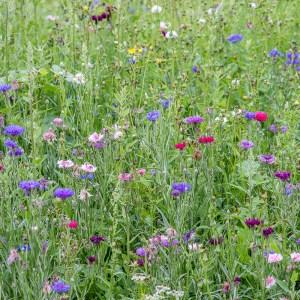 Fleurs de jachère fleurie-France-Aube