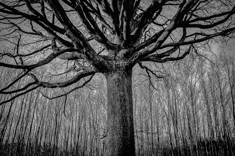 Chêne-France-Forêt de Rambouillet