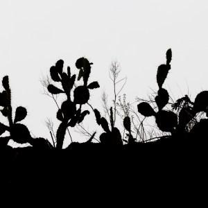 Cactus du genre Opuntia-Colombie