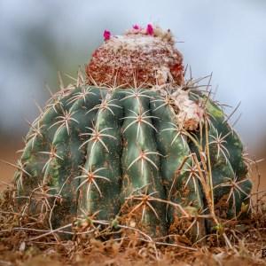 "Cactus ""Coussin de belle mère"" Echinocactus grusonii- Colombie"