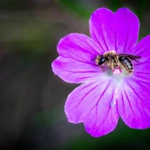 Abeille sauvage se reposant dans une fleur de Géranium sanguin-France-Causse Méjean