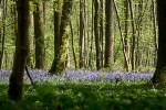 Tapis bleu de Jacinthes dans les sous bois