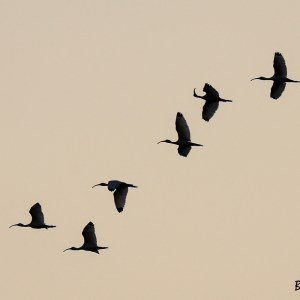 Ibis-Colombie