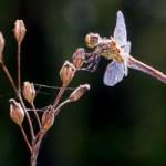 Fascinant vol des Libellules et Demoiselles par beau temps