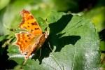 Réapparition des premiers Papillons après leur hivernage