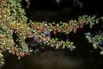 Buissons d'Aubépine  couverts de fruits rouges