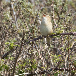 Chants d'oiseaux au lever du soleil au printemps