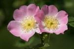 """Floraison des Eglantiers, les """"rosiers sauvages"""""""