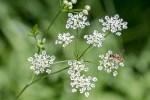 Première Ombellifère blanche à fleurir au bord des chemins: Le Cerfeuil sauvage