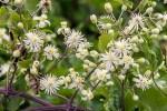 Les buissons d'étoiles blanches des fleurs de la Clématite des haies