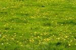 Prairies jaunes de Pissenlit