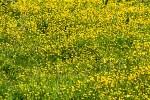 Prairies jaune d'or de Renoncules