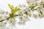 Floraison des merisiers