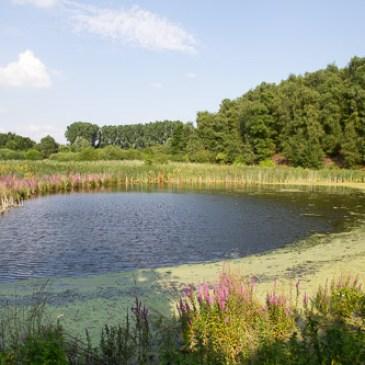 Les bordures d'étangs et cours d'eau fleuris en rose tout l'été grâce à la Salicaire