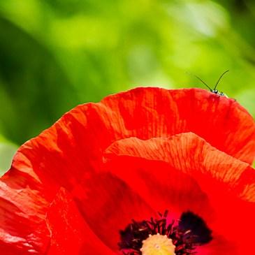 """L'actualité de la nature en ce mois de juin ce sont les """"champs"""" de Coquelicots et les nombreux insectes qui profitent de la chaleur pour se multiplier"""
