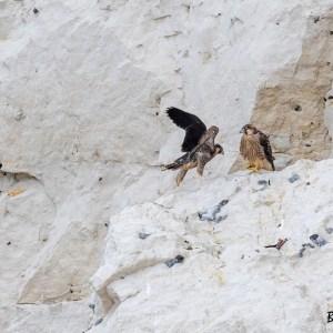 Nord de France- Faucons pèlerins juvéniles