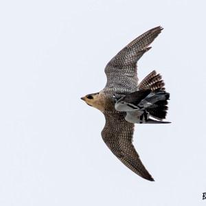 Nord de France- Faucon pèlerin ayant capturé un Pigeon