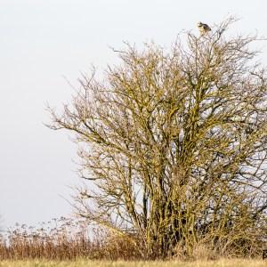 Nord de France-Hibou des marais