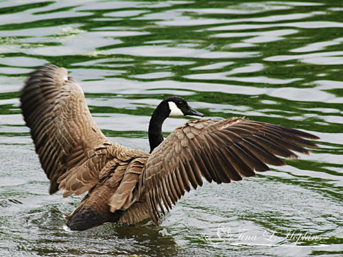 Geese22