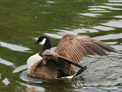 Geese24
