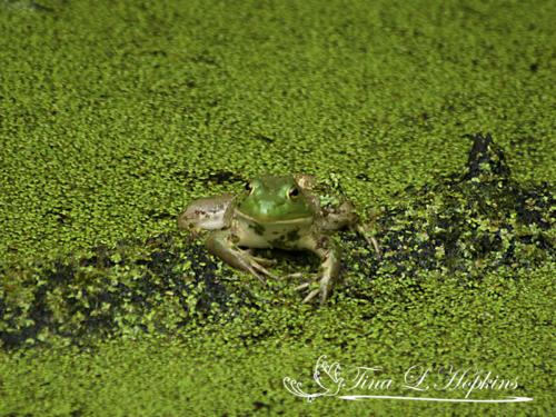 amphibian-13