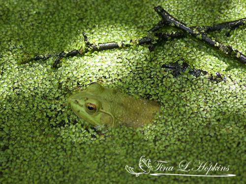 amphibian-14